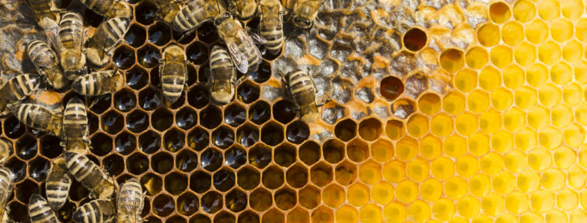 Bee deaths - does cell phone radiation affect bees?