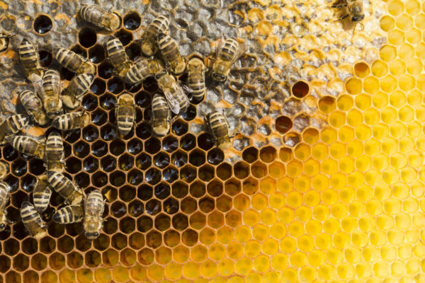 Смертность пчел - Как излучение мобильной связи влияет на пчёл?
